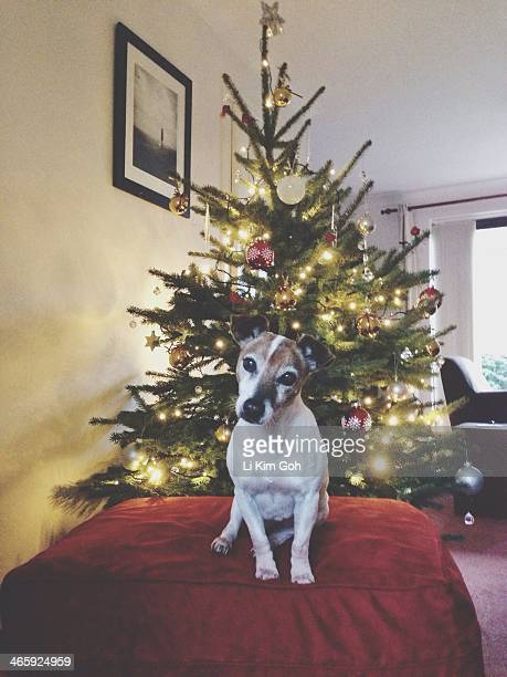 Christmas decoration in a cozy home with a Jack Russell Terrier posing in front of the Christmas tree