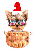 christmas dog as santa in a basket on a white background