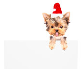 christmas dog as santa with bunner on a white background