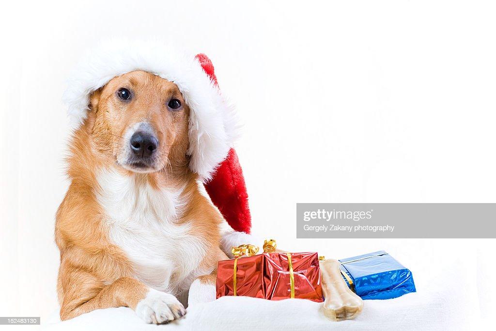 Christmas dog : Stock Photo
