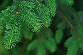 A Christmas fir tree useful as background.