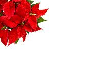 Christmas flower isolated on white background. Red poinsettia blossom with green leaves