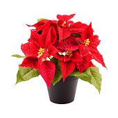 Christmas flower poinsettia in a pot isolated on white