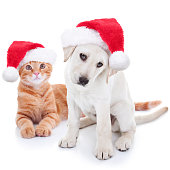 Cute Christmas pet Labrador dog and cat on white