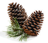 Pine branch in the snow with cones isolated on a white background.  Christmas decoration.