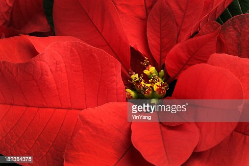Christmas Poinsettia Single Red Flower Close-up,  Festive Holiday Blooming Plant