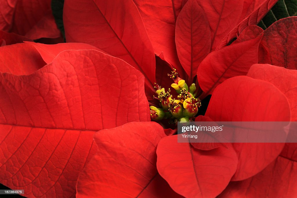 christmas poinsettia single red flower closeup festive holiday blooming plant - Christmas Poinsettia