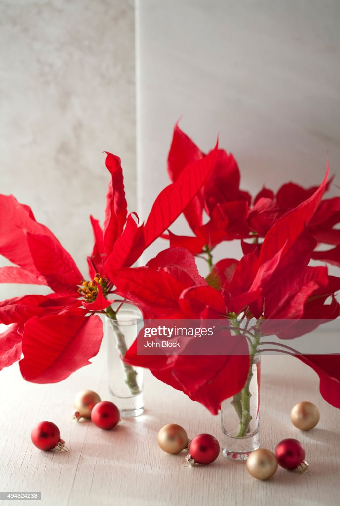 christmas poinsettias in glass vases - Christmas Poinsettia