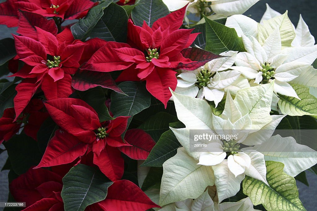 christmas poinsettias - Christmas Poinsettia