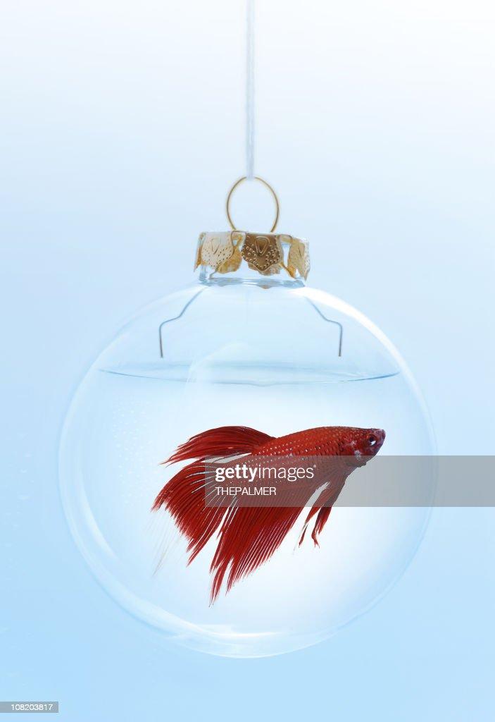 christmas red beta : Stock Photo