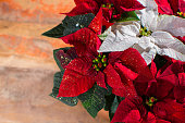 Christmas star red and white poinsettia flowers, Christmas decoration close up