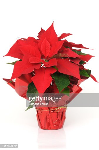 Christmas star - red poinsettia plant