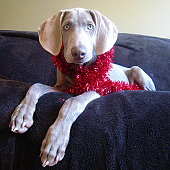 Christmas tinsel Weimaraner puppy