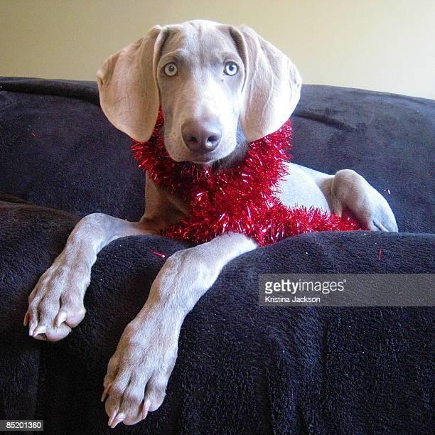 Christmas tinsel Weimaraner puppy