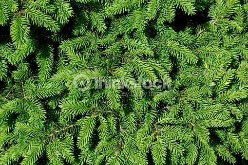 christmas tree branches stock photo - Christmas Tree Branches