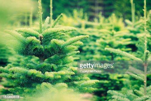 Árvore de Natal de Quinta