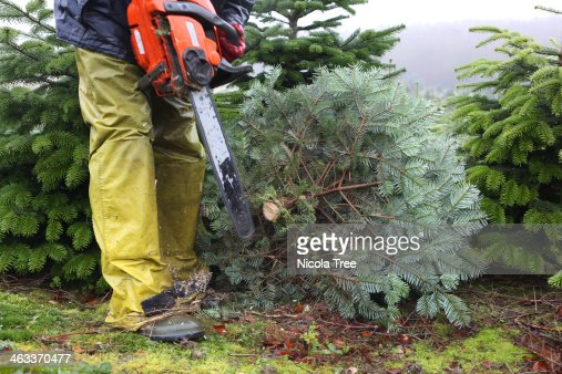 Christmas Tree Farm Worker Cutting Trees Stock Photo | Getty Images