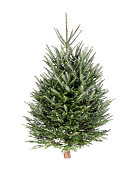 Christmas Tree Fraser Fir pine tree isolated on white