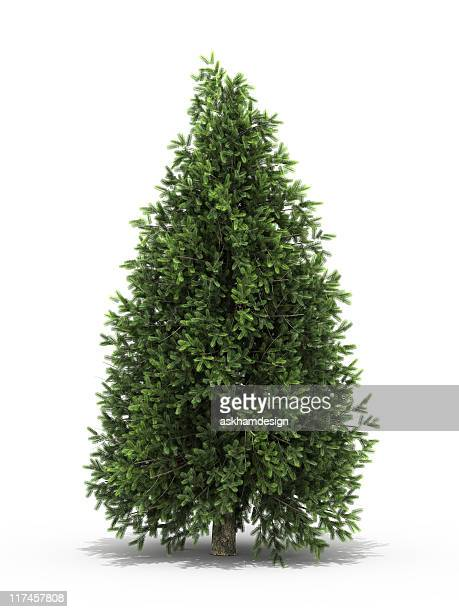 christmas evergreen spruce tree - photo #8