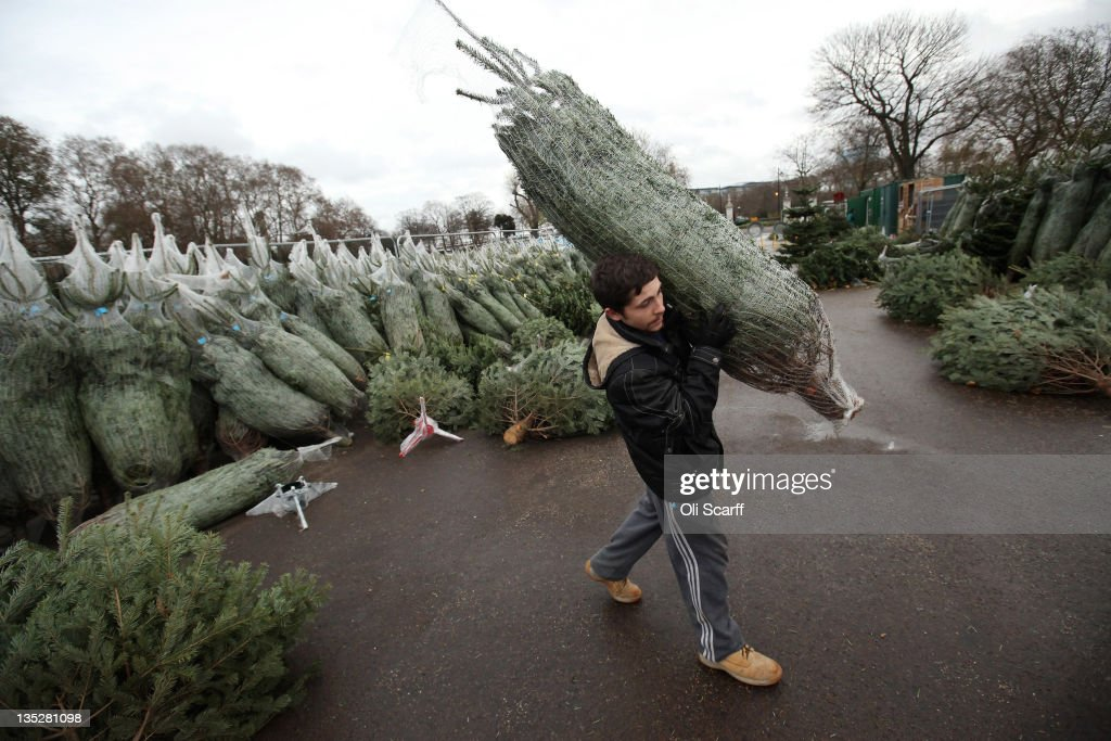 a christmas tree salesman arranges his stock at the royal hospital chelsea on december 8 - Sales On Christmas Trees