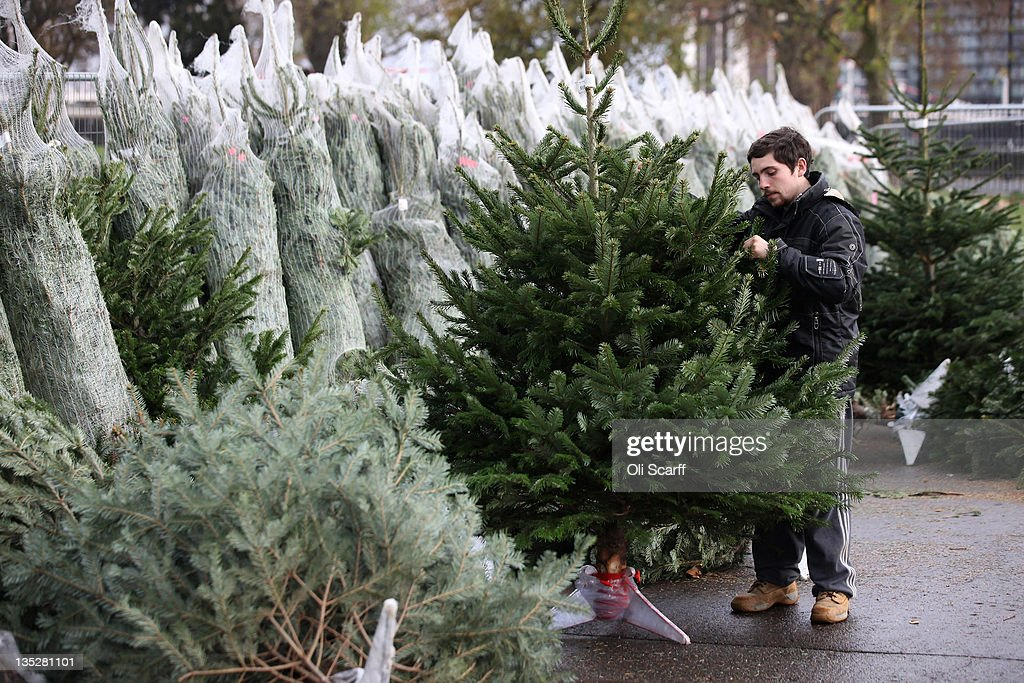 a christmas tree salesman examines his stock at the royal hospital chelsea on december 8 - Sales On Christmas Trees