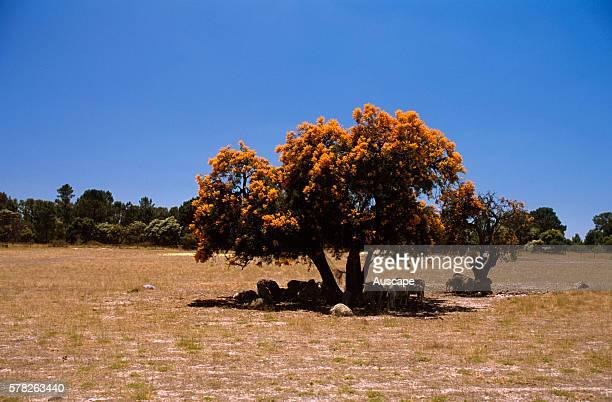 Christmas tree shading sheep A root parasite can parasitise plants as far away as 150 m Western Australia Australia