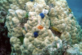 Christmas tree worm Spirobranchus giganteus are found on compact and flat stony corals The tentacles wreaths are available in many color variations...