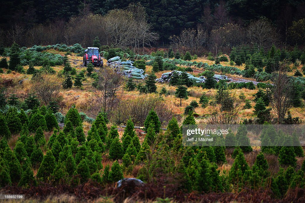Christmas trees are harvested at Garrocher Tree Farm on November 10, 2012 in Creetown, Scotland. The tree grower, won the coveted title of Champion Christmas Tree Grower 2012 at the 14th Annual British Christmas Tree Growers' Association and will now deliver a sixteen foot six inch tree to take up residence outside 10 Downing Street.