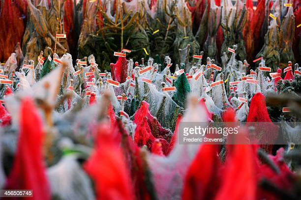 Christmas trees are set out on display in the Rungis market flowers department on December 13 2013 in Rungis France Rungis is the world's largest...