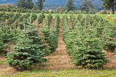 Rows of Christmas trees growing on a farm in OR.
