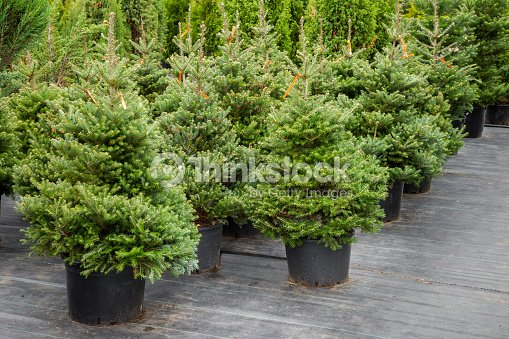 christmas trees in pots stock photo thinkstock. Black Bedroom Furniture Sets. Home Design Ideas