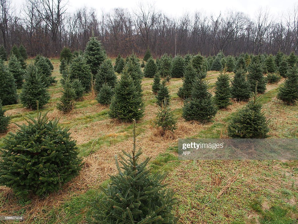 Christmas trees of various sizes spread over a field at Ridgefield Farm in Harper's Ferry, West Virginia, December 9, 2012. Tree growers report growing demand among consumers for smaller and more natural looking trees. AFP PHOTO / Robert MacPherson