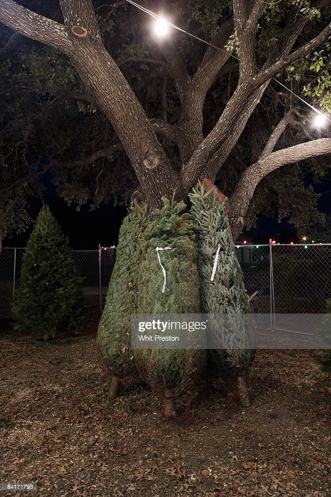 Christmas trees tied up leaning against oak tree. : Stock Photo