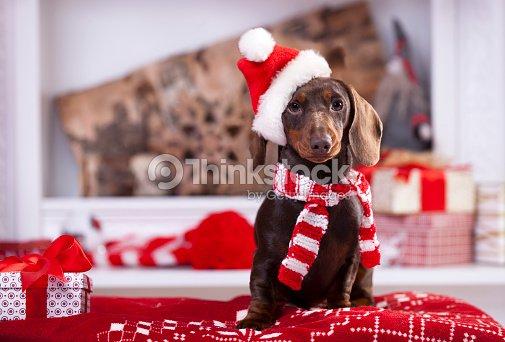 Christmas wreath on neck dachshund puppy