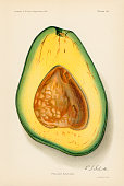 Chromolithograph illustration depicts a Pollock avocado in crosssection 1912 The image originally appeared in an unspecified US Department of...