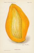 Chromolithograph illustration depicts a Sandersha mango in crosssection 1907 The image originally appeared in an unspecified US Department of...