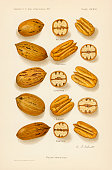 Chromolithograph illustration depicts a variety of Pecan nuts in the shell in crosssection and whole 1907 Pictured are from the top Wolford President...
