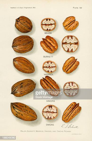 Chromolithograph illustration depicts a variety of Pecan nuts in the shell in crosssection and whole 1912 Pictured are from the yop Major Burkett...