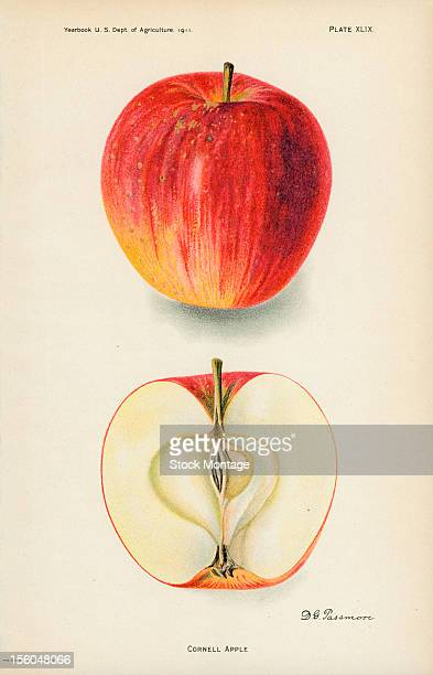 Chromolithograph illustration depicts Cornell apples one whole and one in crosssection 1911 The image originally appeared in an unspecified US...