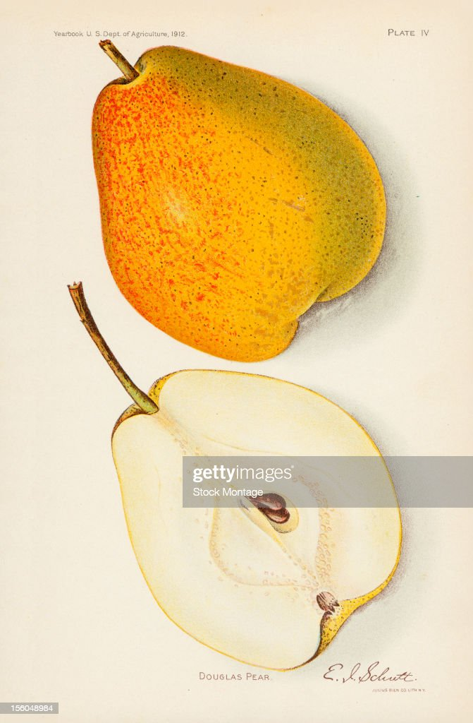 Chromolithograph illustration depicts Douglas pears one whole and one in crosssection 1912 The image originally appeared in an unspecified US...