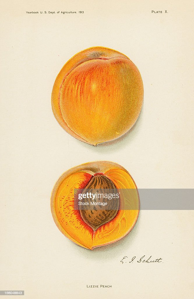 Chromolithograph illustration depicts Lizzie peachs one whole and one in crosssection 1913 The image originally appeared in an unspecified US...