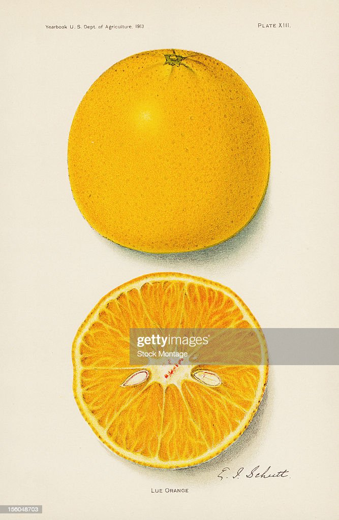 Chromolithograph illustration depicts Lue orange citrus fruits one whole and one in crosssection 1913 The image originally appeared in an unspecified...
