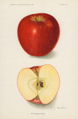 Chromolithograph illustration depicts McCroskey apples one whole and one in crosssection 1913 The image originally appeared in an unspecified US...