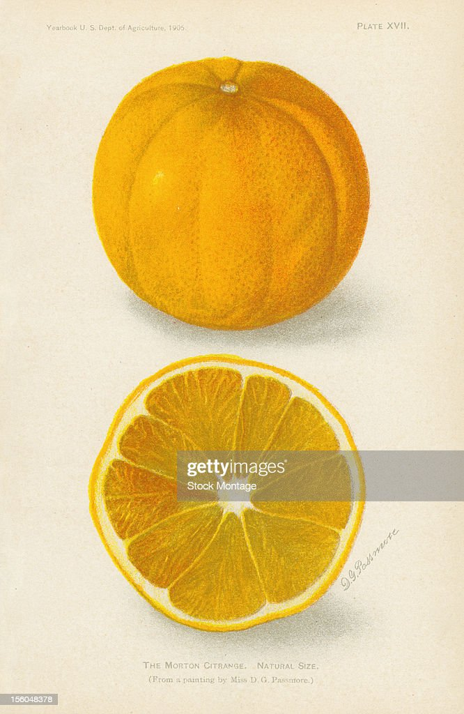 Chromolithograph illustration depicts Morton citrange citrus fruits one whole and one in crosssection 1905 The image originally appeared in an...