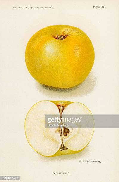 Chromolithograph illustration depicts Patten apples one whole and one in crosssection 1908 The image originally appeared in an unspecified US...