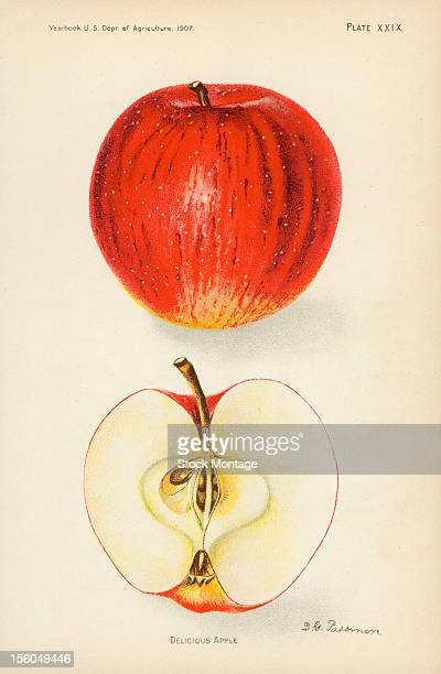 Chromolithograph illustration depicts Red Delicious apples one whole and one in crosssection 1907 The image originally appeared in an unspecified US...