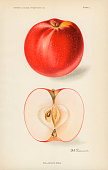 Chromolithograph illustration depicts San Jacinto apples one whole and one in crosssection 1911 The image originally appeared in an unspecified US...