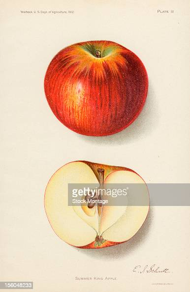Chromolithograph illustration depicts Summer King apples one whole and one in crosssection 1912 The image originally appeared in an unspecified US...