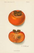 Chromolithograph illustration depicts Triumph persimmons one whole and one in crosssection 1913 The image originally appeared in an unspecified US...
