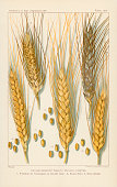 Chromolithograph illustration depicts varieties of droughtresistant wheat and the seeds 1900 Wheat varieties pictured are Kubanka Nicaragua Velvet...